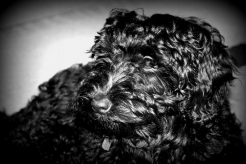 macy peaches black labradoodle