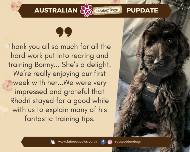 australian labradoodle testimonial partly-trained