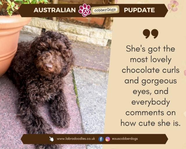 choc Australian cobberdog testimonial