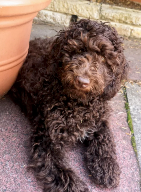 curly choc wool labradoodle coat