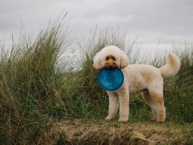 Twister the cream curly labradoodle
