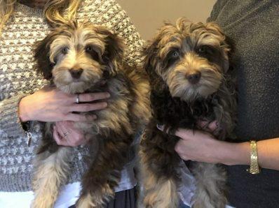 2 labradoodle puppies