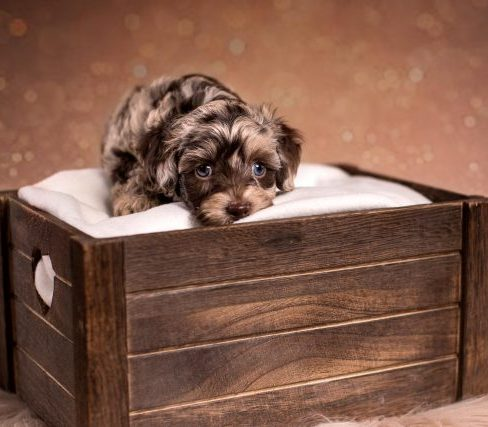 miniature chocolate merle Labradoodle puppy