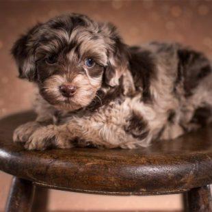 miniature chocolate merle Labradoodle puppy