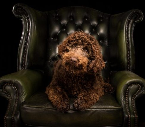 Chocolate Australian Labradoodle - Timbo on couch