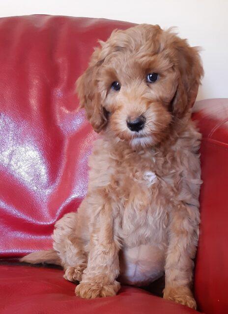 red Australian cobberdog puppy