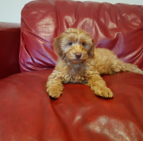 Dale - Apricot Red Labradoodle