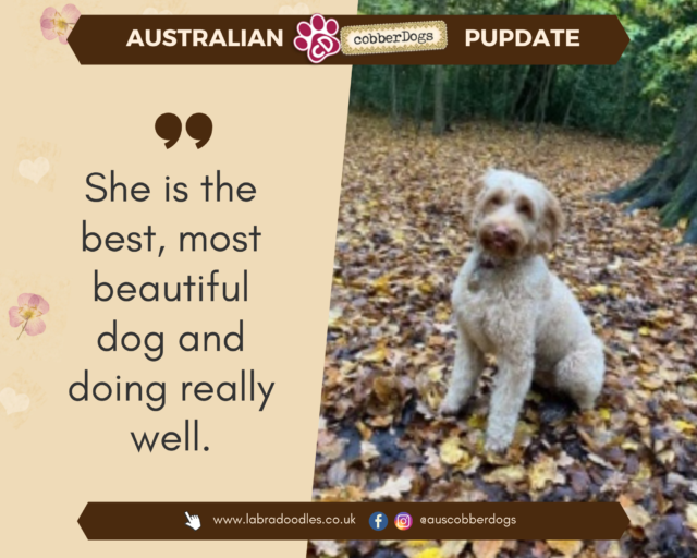 labradoodle from doodle dogs