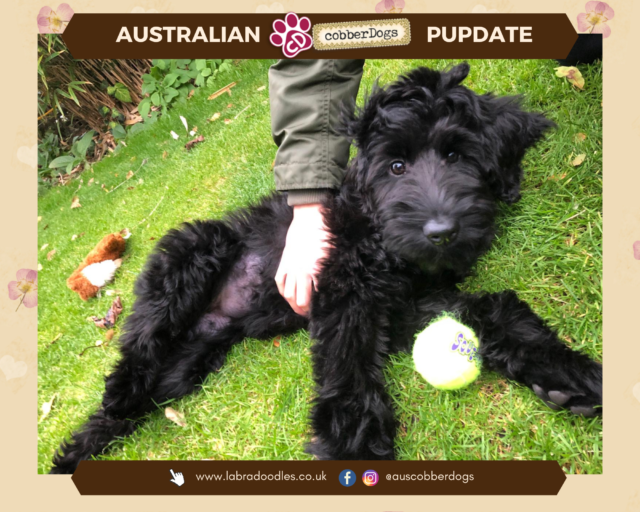 black labradoodle testimonial partly-trained