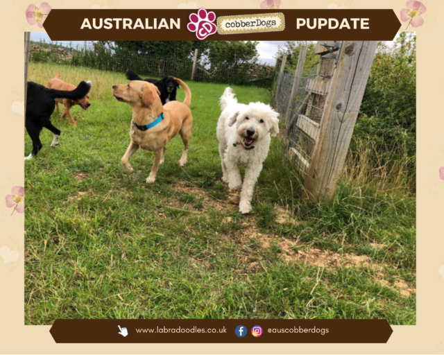 labradoodle with other dogs testimonials