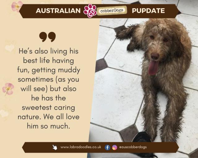 Australian labradoodle testimonial