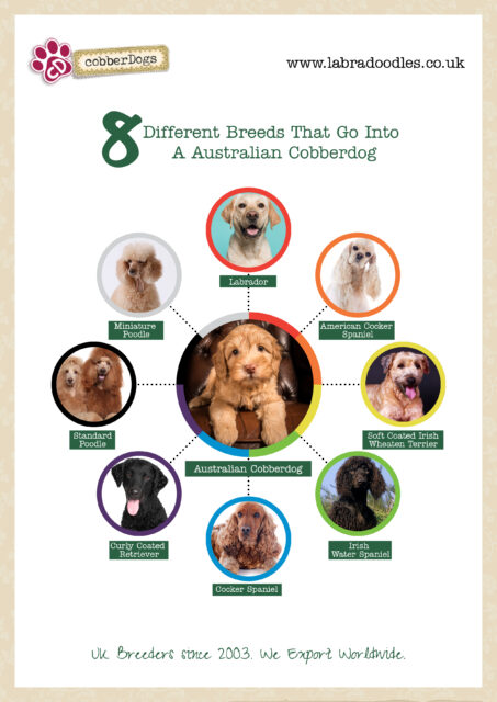 what breeds are in an Australian cobberdog?