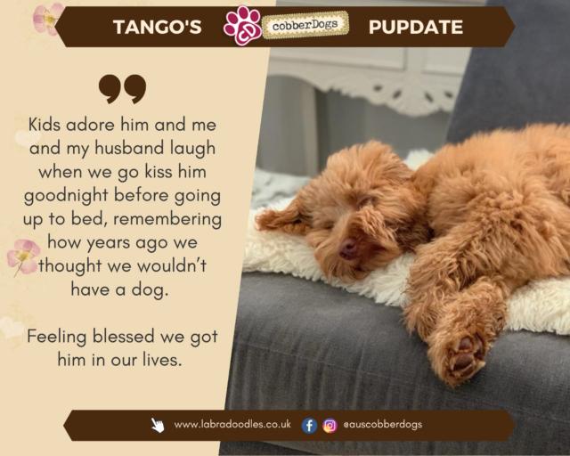 doodle dogs apricot cream labradoodle testimonial
