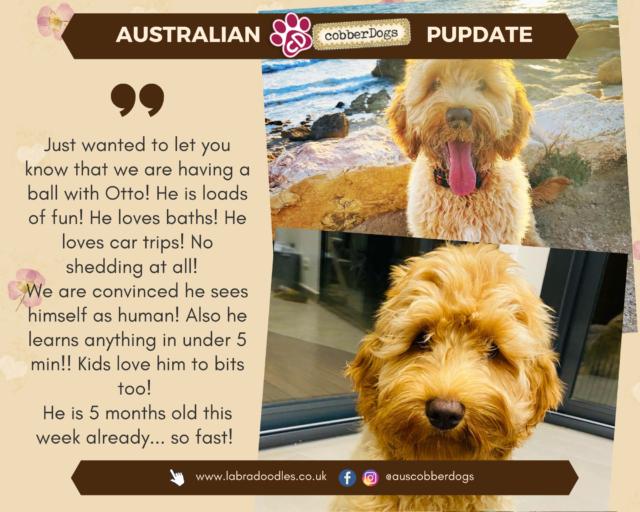 doodle dogs apricot labradoodle testimonial