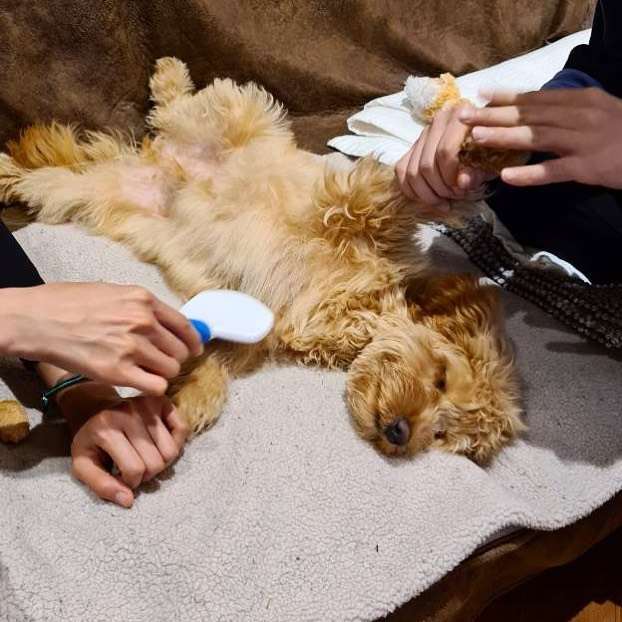 low/no shedding coat maintenance grooming your labradoodle