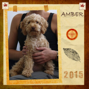 Amber is a mini labradoodle with an adorable curly fleece coat. Her breed is Australian Labradoodle, also known as Australian Cobberdog.