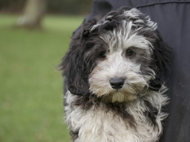 black merle labradoodle puppy doodle dogs