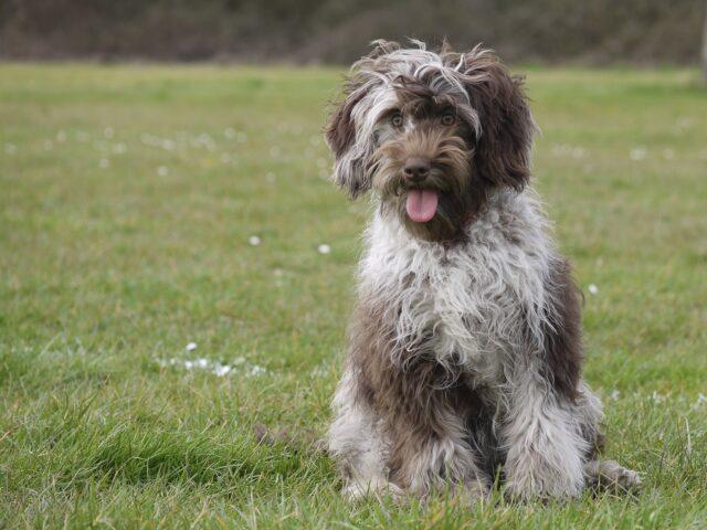 choc merle Australian cobberdog partly trained