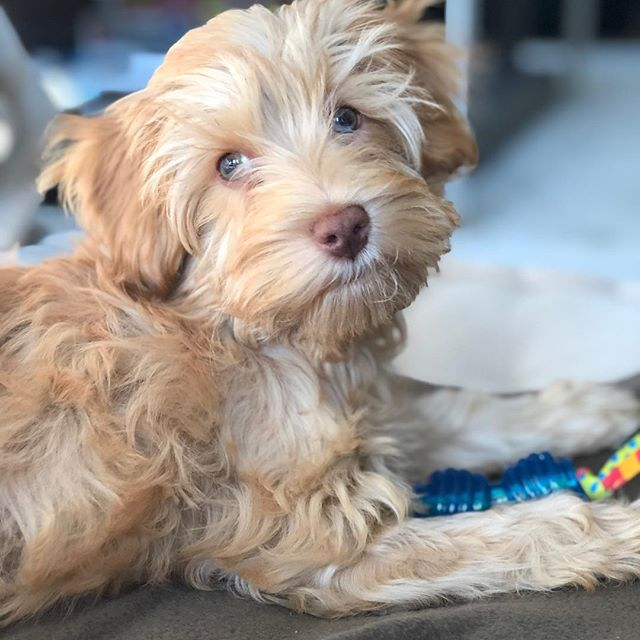 Male or female dog labradoodle puppy