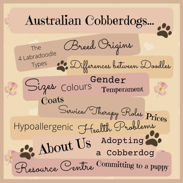 Australian Cobberdog and Labradoodle Information
