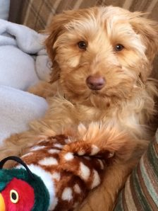 Apricot Labradoodle from doodleDogs