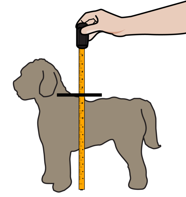 Measuring Labradoodle Sizes