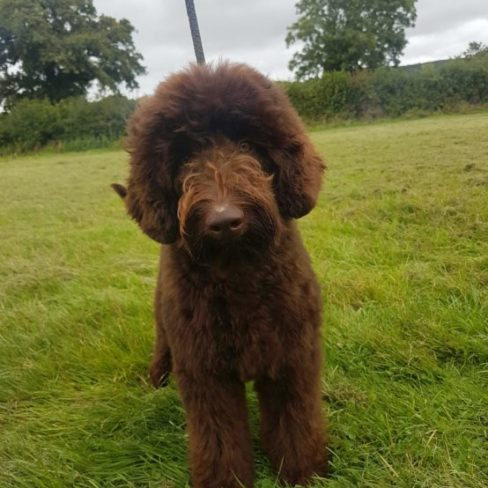 Chocolate Medium Australian Cobberdog from doodleDogs UK