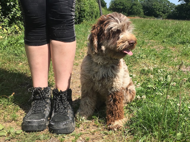 partly trained choc merle labradoodle