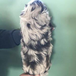 Chocolate Merle Australian Labradoodle Puppy