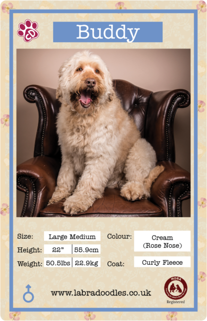 Guide to Labradoodle Sizes
