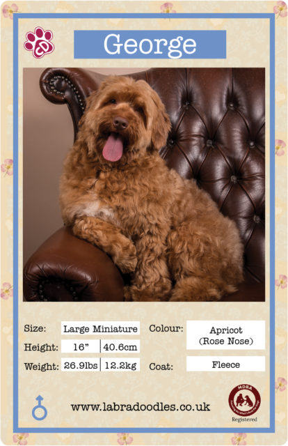 Large mini labradoodle