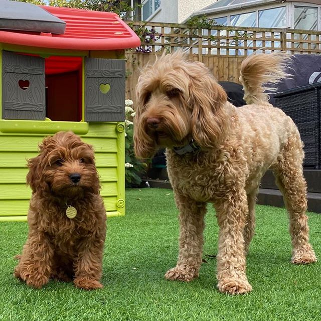 low/no shedding labradoodles adopting another puppy