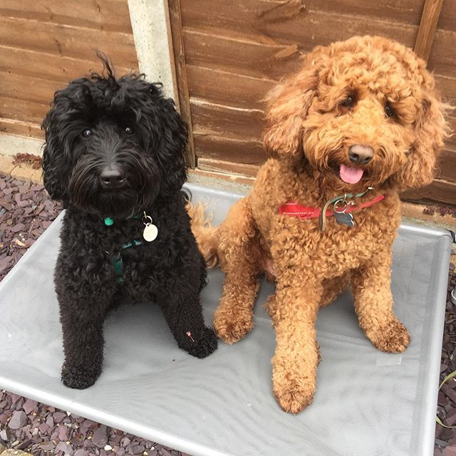 Adopting a second labradoodle