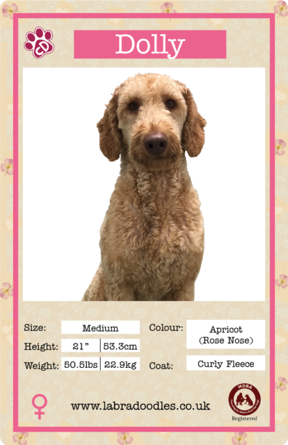 Medium Labradoodle