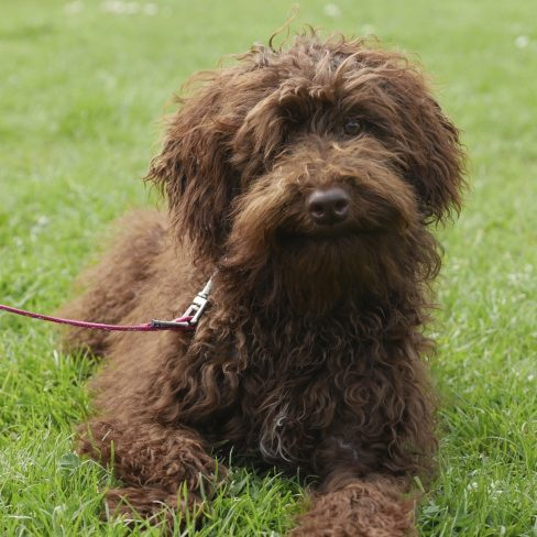 Curlier Fleece Chocolate Labradoodle - Tamba