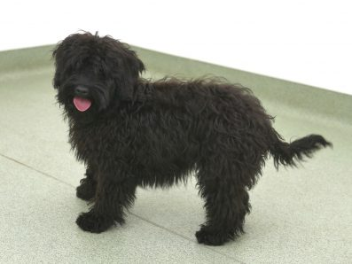 Larry Frankie is a Black Miniature Labradoodle. His breed is 100% ASD (Australian Service Dog) pure Australian Labradoodle, also known as Australian Cobberdog.