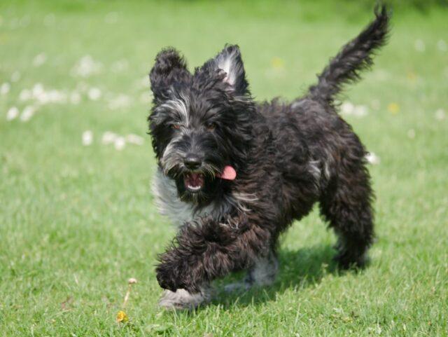 Black merle Australian cobberdog puppy