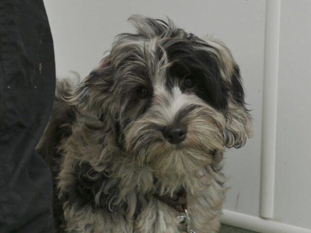 black merle Australian labradoodle puppy