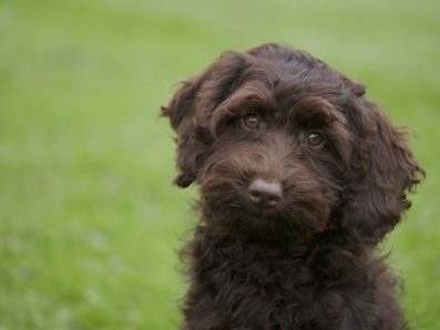 Trained Chocolate Mini Australian Labradoodle - Sahara
