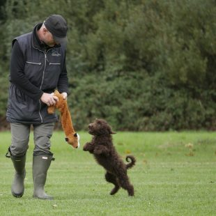Chocolate Australian Labradoodle Cobberdog Training with foxy toy