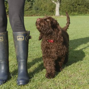 Chocolate Labradoodle in the park with a trainer