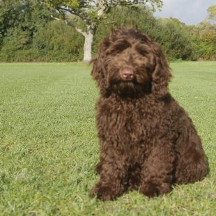 Chocolate Labradoodle in the park