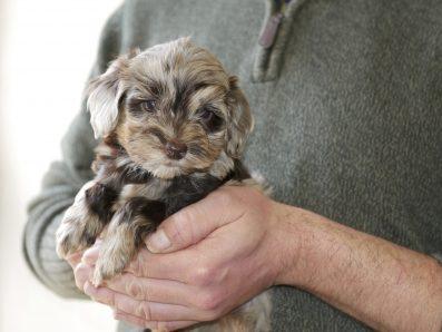 Merle Labradoodle Puppy