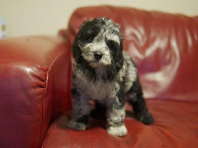 black merle cobberdog puppy