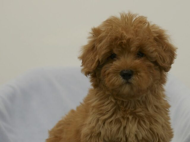 mini red labradoodle puppy