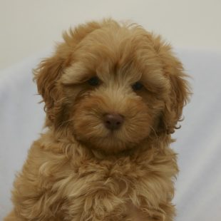 Red Apricot Labradoodle Puppy