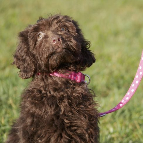 Chocolate Labradoodle Lead Training