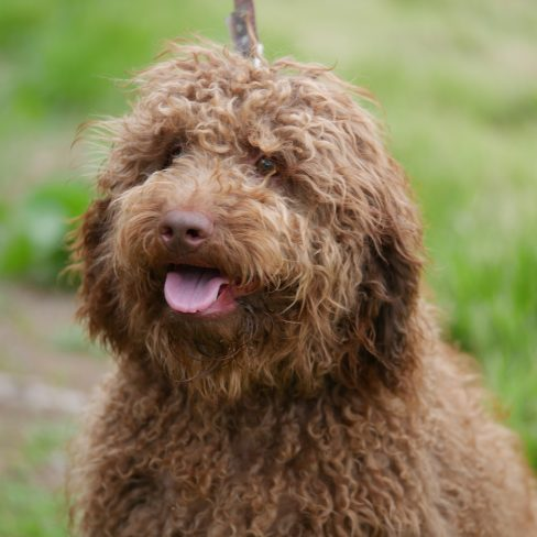 Small Medium Brown Australian Labradoodle Cobberdog