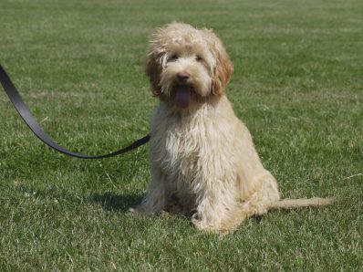 Bumble is an apricot labradoodle. He is male standard labradoodle with a fleece coat and a rose nose. His breed is pure Australian Labradoodle, also known as Australian Cobberdog.
