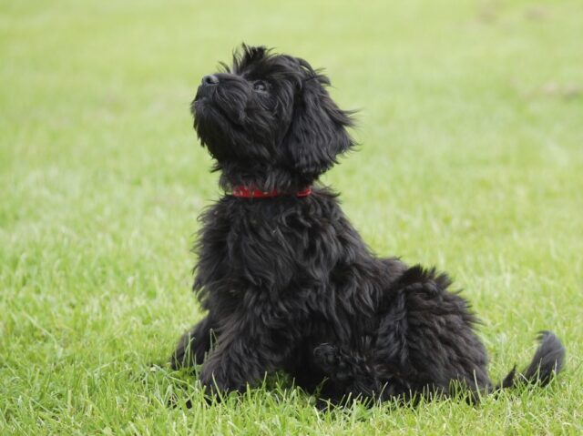 black Australian Cobberdog Labradoodle puppy
